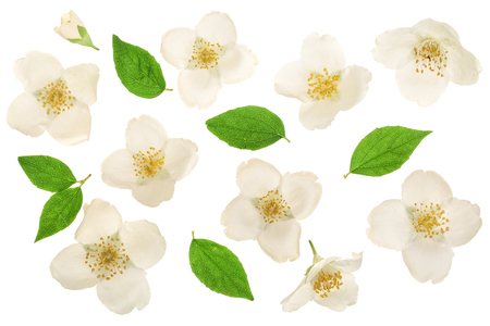 jasmine flower decorated with green leaves isolated on white background closeup