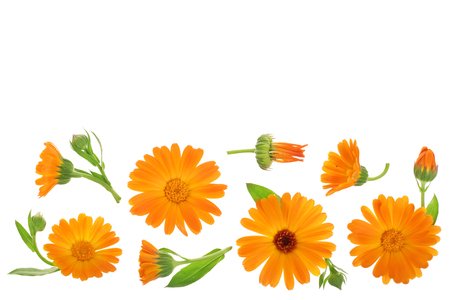 Calendula. Marigold flower isolated on white background with copy space for your text. Top view. Flat lay pattern Zdjęcie Seryjne