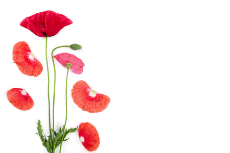 red poppy flower isolated on white background with copy space for your text