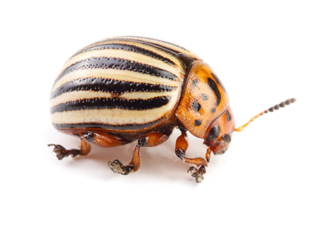 Colorado Potato Beetle isolated on white background. Banque d'images - 105435284