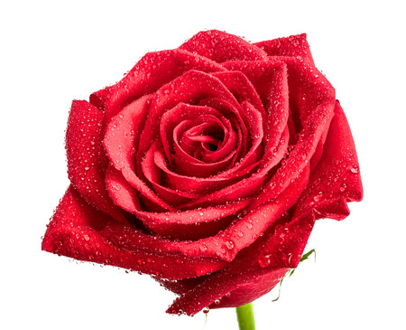 beautiful red rose with dew drops isolated on white background.