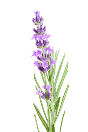 Twig of lavender with leaf isolated on a white background.