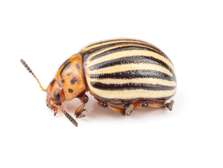 Colorado Potato Beetle isolated on white background.