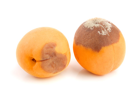 rotten apricot isolated on white background closeup.