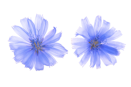Chicory flower isolated on white background macro without a shadow.