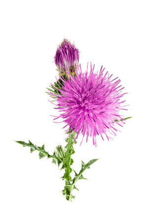 milk thistle flower isolated on white background macro.