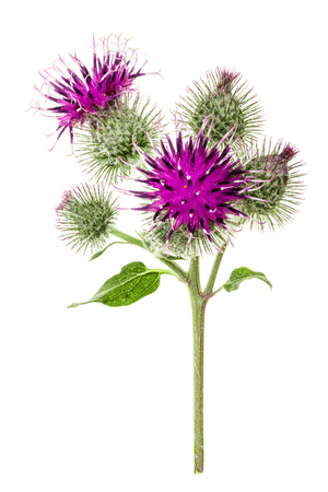Burdock flower isolated on white background. Medicinal plant: Arctium. Banque d'images