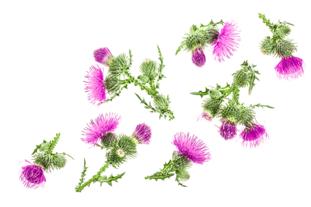 milk thistle flower isolated on white background with copy space for your text. Top view. Flat lay pattern.