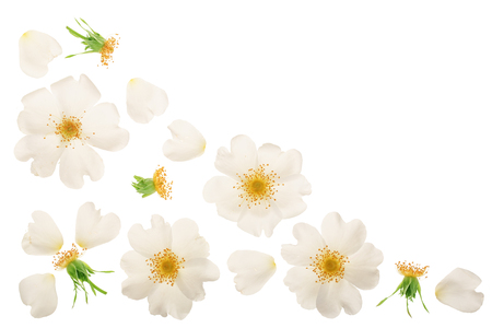 Rosehip flower isolated on white background with copy space for your text,