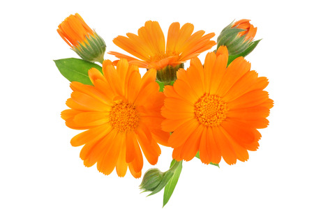Calendula. Marigold flower with leaf isolated on white background. Zdjęcie Seryjne - 108123389