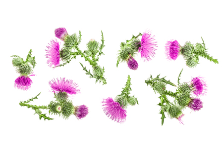milk thistle flower isolated on white background with copy space for your text. Top view. Flat lay pattern. Stockfoto