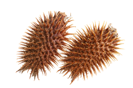 dry Xanthium strumarium isolated on white background has medicinal properties.