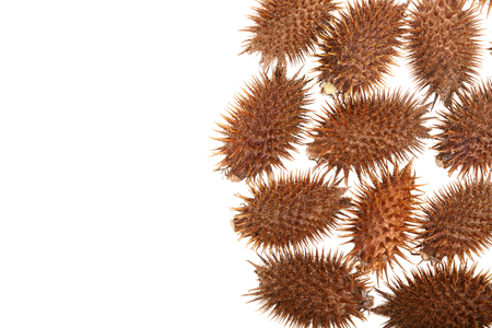 dry Xanthium strumarium isolated on white background has medicinal properties with copy space for your text. Top view. Flat lay pattern. Imagens
