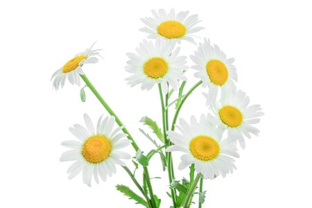 one chamomile or daisies with leaves isolated on white background Standard-Bild
