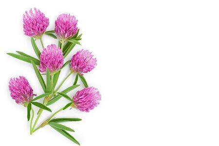 Clover or trefoil flower medicinal herbs isolated on white background with copy space for your text. Top view. Flat lay 免版税图像