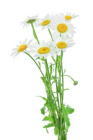 one chamomile or daisies with leaves isolated on white background Stok Fotoğraf