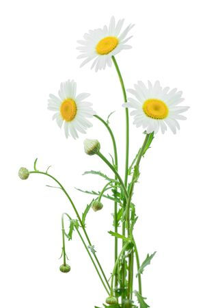one chamomile or daisies with leaves isolated on white background Stockfoto - 128619286