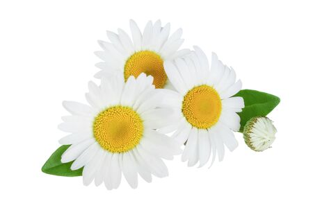 one chamomile or daisies with leaves isolated on white background Banco de Imagens