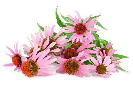 Coneflower or Echinacea purpurea isolated on white background. Фото со стока