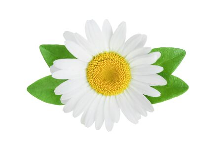 Chamomile or daisy with leaves isolated on white background Stok Fotoğraf