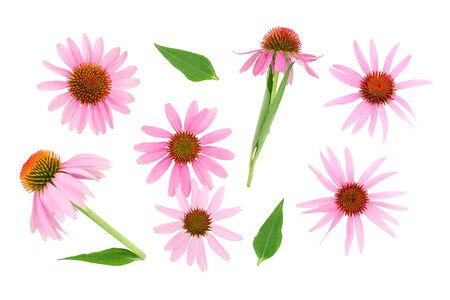 Coneflower or Echinacea purpurea isolated on white background. Top view. Flat lay