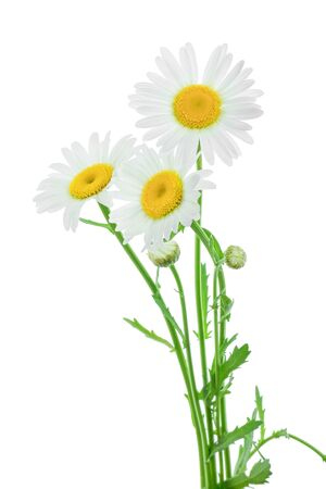 one chamomile or daisies with leaves isolated on white background Stockfoto
