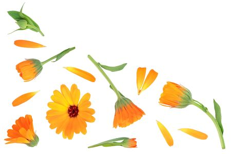 Calendula. Marigold flower isolated on white background with copy space for your text. Top view. Flat lay pattern Imagens