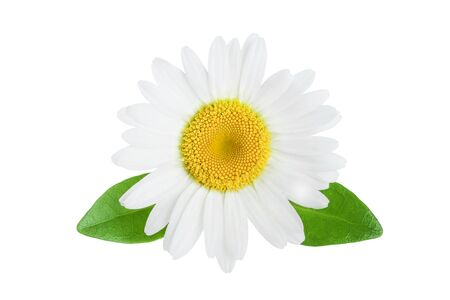 one chamomile or daisies with leaves isolated on white background 写真素材
