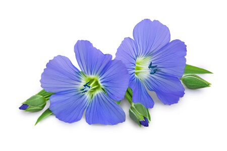 Flax blue flowers closeup isolated on white background.