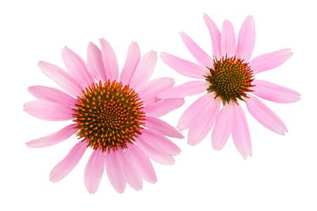 Coneflower or Echinacea purpurea isolated on white background, Top view. Flat lay. Фото со стока