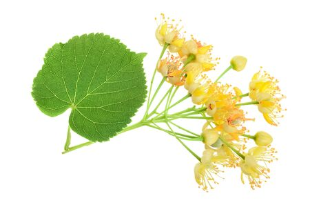 Linden flowers with leaf isolated on white background 写真素材