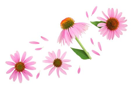 Coneflower or Echinacea purpurea isolated on white background with copy space for your text. Top view. Flat lay.