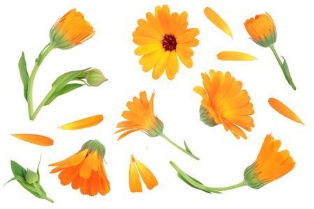 Calendula. Marigold flower isolated on white background. Top view. Flat lay pattern