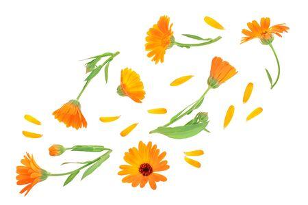 Calendula. Marigold flower with leaf isolated on white background. Top view. Flat lay pattern.