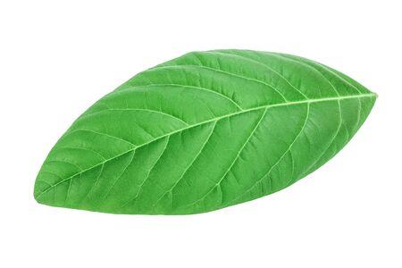 fresh avocado leaves isolated on white background, Stockfoto