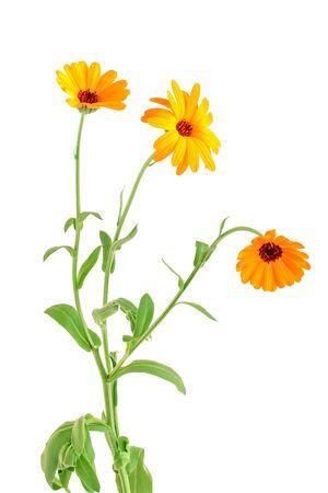 bouquet of orange Calendula flowers Isolated on white background Stock Photo