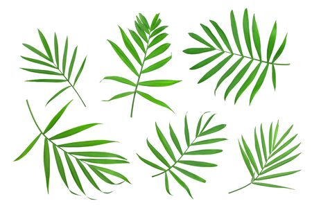 Green leaves of palm tree isolated on white background with clipping path