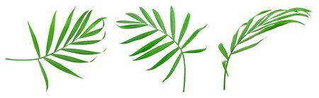 Green leaves of palm tree isolated on white background. Set or collection