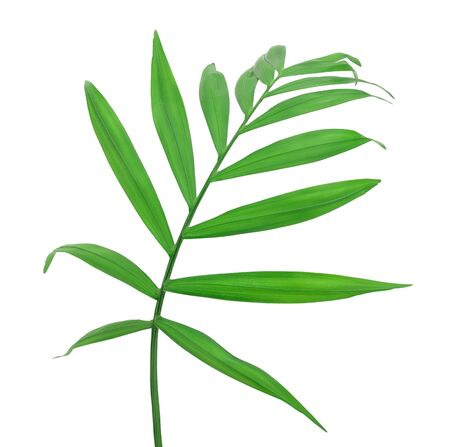 Green leaves of palm tree isolated on white background Stockfoto