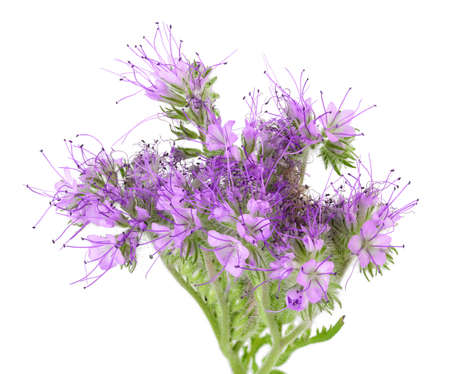 Phacelia flower isolated on white background