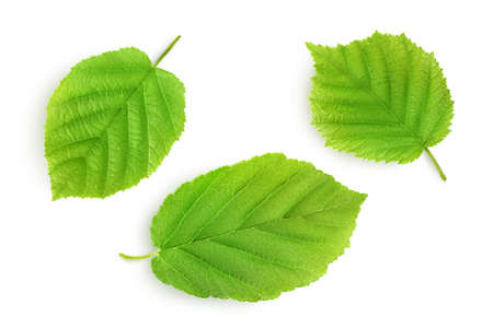 Hazelnut leaf isolated on a white background with clipping path