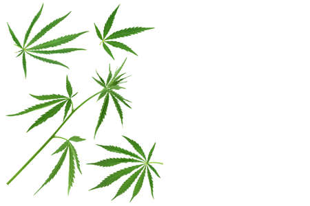 Cannabis leaf isolated on white background. Top view with copy space for your text. Flat lay pattern