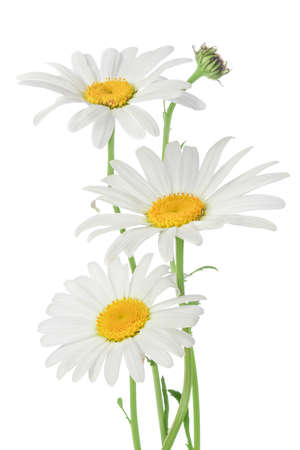 White daisies isolated on white Banque d'images