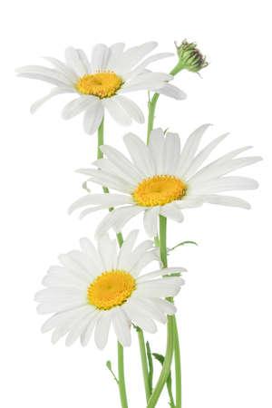White daisies isolated on white Stock Photo