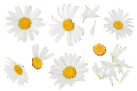chamomile or daisies isolated on white background with clipping path and full depth of field. Set or collection. Foto de archivo