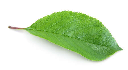 cherry leaf isolated on a white background with clipping path and full depth of field. Standard-Bild