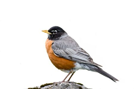 robin: The beautiful fluffy bird has a rest on a stone. Stock Photo