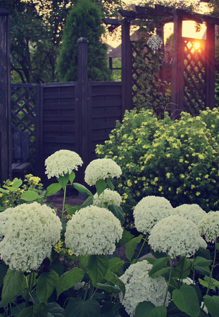 Hydrangea flowers on a background the lattice of the pergola at sunset