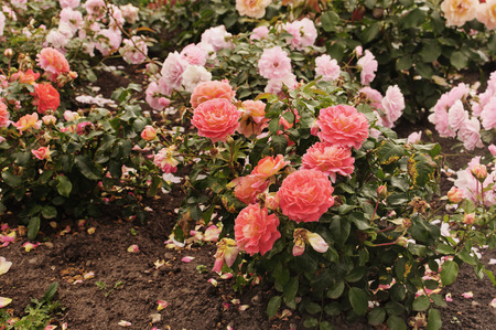 Roses showered in autumn Park
