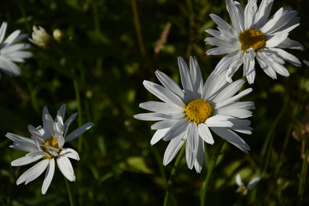 Camomile (daisy) leucanthemum in the garden, countryside Zdjęcie Seryjne